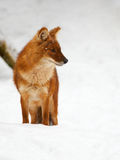 Asian Wild Dog in the snow Royalty Free Stock Image