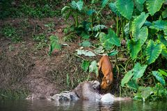 Asian wild dogs. Eating a deer carcass Stock Image