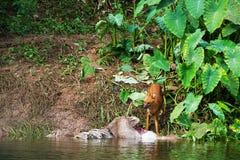 Asian wild dogs. Eating a deer carcass Stock Photography