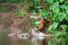 Asian wild dogs. Eating a deer carcass Stock Images
