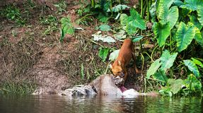 Asian wild dogs. Eating a deer carcass Royalty Free Stock Photography