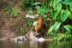 Asian wild dogs. Eating a deer carcass Royalty Free Stock Photos