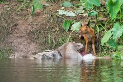 Asian wild dogs. Eating a deer carcass Royalty Free Stock Images