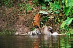 Asian wild dogs. Eating a deer carcass Stock Photo