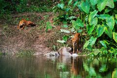 Asian wild dogs. Eating a deer carcass Royalty Free Stock Image