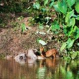 Asian wild dogs Stock Photos