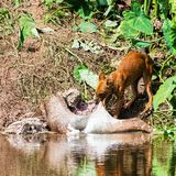 Asian wild dogs eating. A deer carcass Royalty Free Stock Photography