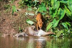 Asian wild dogs eating a deer. Carcass Stock Photos