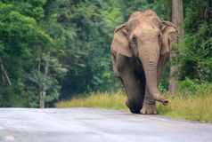 Asian Wild elephant in thailand Royalty Free Stock Image