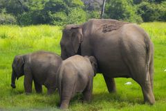 Asian wild Eliphant - Sri lanka minneriya national park royalty free stock photography