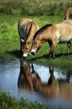 Asian wild horse Royalty Free Stock Images