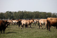 Asian wild horses. And aurochs in the nature reserve in Hungary Stock Photography