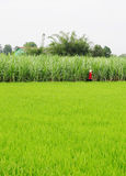 Asian woman with conical hat working in the rice field Stock Images