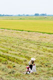 Asian woman with conical hat working in the rice field Stock Photography