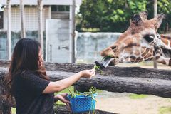 An Asian woman feeding fresh vegetable to a baby giraffe Stock Photo
