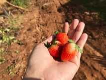 Asian woman hand hold fresh organic strawberry over earth backgr Stock Images