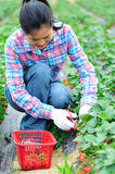 Asian woman havest strawberry Stock Photography