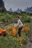 Asian woman packs freshly picked fruit harvest in orange garden. Royalty Free Stock Photos