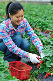 Asian woman picking strawberry Royalty Free Stock Images