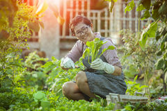 Free Asian Woman Relaxing Harvesting Organic Vegetable In Home Garden Royalty Free Stock Images - 84965469