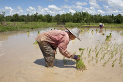 Asian woman in the rice field, Thailand. Heavy work in hot weather Stock Photography