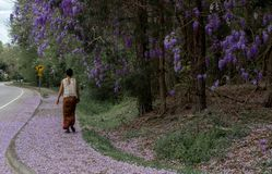 Asian woman in sarong walking on sidewalk covered with wisteria petals stock photos