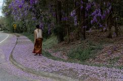 Asian woman in sarong walking on sidewalk covered with wisteria petals stock image