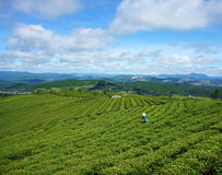 Asian woman, Vietnamese farmer, tea plantation Royalty Free Stock Photo