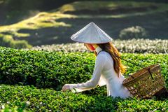 Asian woman wearing Vietnam culture traditional in green tea field royalty free stock photos