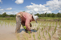 Asian woman works on the rice field Stock Photography