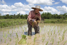 Asian woman works on the rice field Royalty Free Stock Photo
