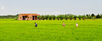 Asian women with conical hat working in the rice field Royalty Free Stock Photography