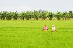 Asian women with conical hat working in the rice field Royalty Free Stock Images
