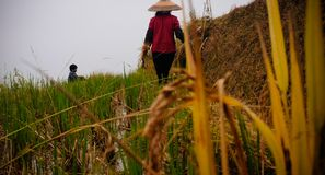 Asian women in rice fields royalty free stock photo