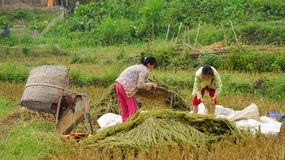 Asian women work on rice field Royalty Free Stock Photo
