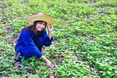 Asian women working in peanut field Royalty Free Stock Photos