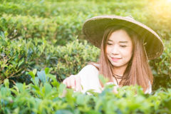 Asian women Works In Green Tea Plantation Stock Images