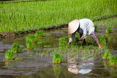 Asian worker in paddy field. Asian worker in traditional clothes and hat in rice paddy field plantation Stock Photography