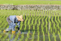 Asian worker on paddy rice field. Stock Photos