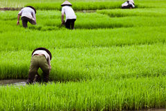 Asian Workers On Rice Paddy Stock Images