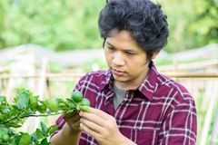 Asian young farmer checking quality of lime fruit royalty free stock photo