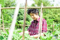 Asian young farmer checking quality of vegetables royalty free stock photography