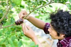 Asian young farmer grafting on lime tree. Branch,induced root,agricultural technique royalty free stock photo