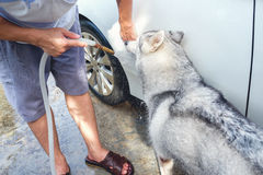 Asian young man washing car near home garden outdoor while Siberian husky dog try to drink water from the hose. Asian young man cleaning / washing the door of stock photos