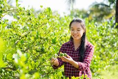Asian young woman farmer picking lime fruit stock photo