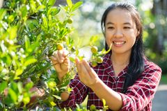 Asian womanpicking young orange fruit stock photography
