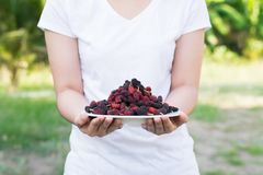 Asian young woman holding fresh mulberry fruits with very useful for the treatment and protect of various diseases, organic fresh. Ripe fruit stock photo