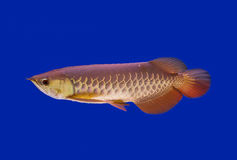 Asiat Arowana-Fische, Drachefische Lizenzfreie Stockfotos