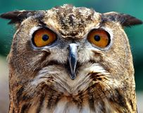 Asiat Eagle Owl Stockbilder