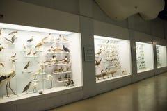 Asiat Kina, Peking, nationella djura Museumï ¼ŒAnimal prover Arkivfoto